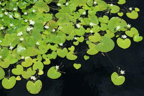 plantes aquatiques filtrantes